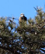That's a real bald eagle -- obviously not the pistachio-cracking kind!