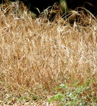 Sign of a California summer: dry grass