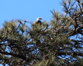 The eagle has landed -- in a tree next to the Crestline Chamber of Commerce building.