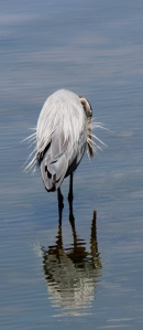 A great blue heron uses Lake Gregory as a mirror.
