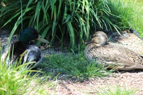 A mallard couple has a restful picnic at Boulder Bay, Big Bear Lake.